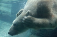 Photo - Polarbear Underwate